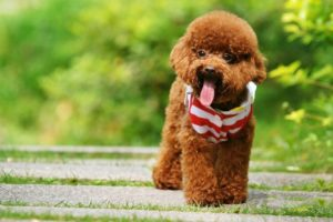 Learn about Poodle dog, information about Poodle dog breed, origin